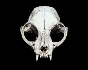 animal skull. cat skull