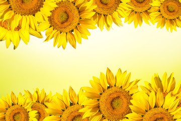 sunflower background