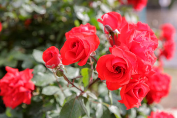 Some mature red ripe roses