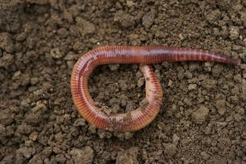 Earthworm - Lumbricus terrestris