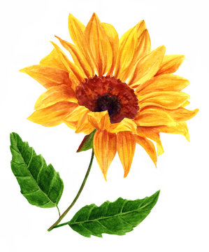 Watercolor yellow sunflower with two green leaves, on white