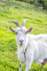 White goat with horns, farming pets