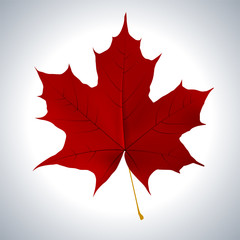 Red maple leaf as an autumn symbol as a seasonal themed concept
