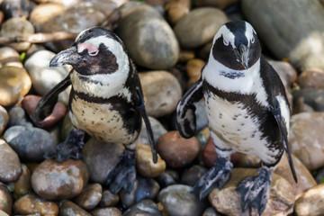 Juvenile African Penguins (Spheniscus demersus)