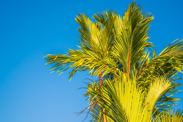palm tree,Cyrtostachys renda Blume