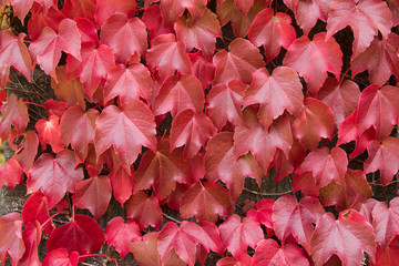 Climbing plant, Boston Ivy leaves on the brick wall turning from green to Autumn red shade