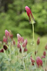 Field of Crimson Clover in Bloom