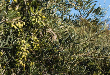 green olives on tree in olive grove