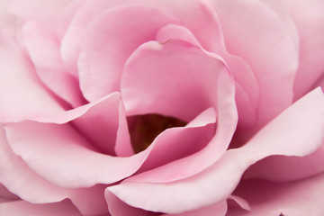 Pale pink roses close-up of