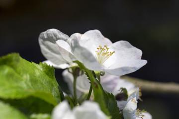 Apple Tree Flower