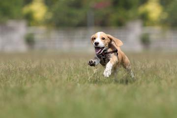 Beagle puppy running on the grass.