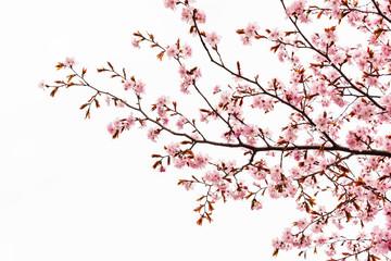 Cherry blossom or sakura tree isolated