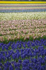 Hyacinth. Beautiful colorful pink