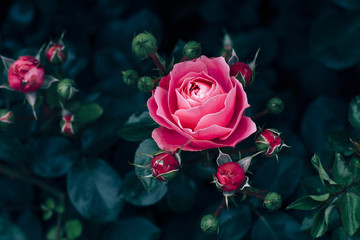 Pink rose with dark green leaves growing in rose garden
