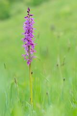 Anacamptis palustris. Wild orchid