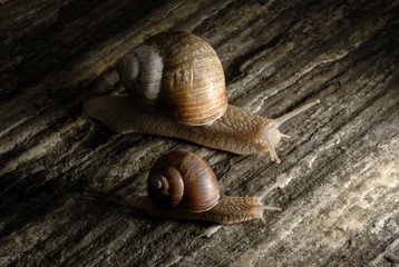 Two snails crawling on rock