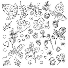 Set of vector berries and leaves. Wild berries painted line on a white background. Cranberry, cranberries, currants, raspberries, strawberries, gooseberries, blueberries, barberries