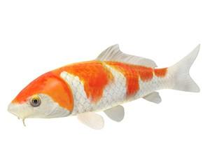 3d illustration of a koi fish