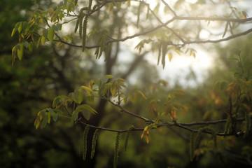 Young hazel tree