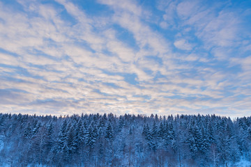 Fir tree forest and sunset sky at snow winter season