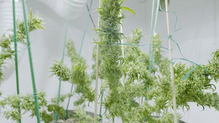 Large Marijuana Buds at Indoor Cannabis Farm