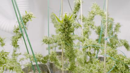 Stocks of Fat Buds on Marijuana Plants at Indoor Cannabis Farm