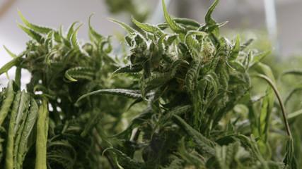 Large Marijuana Bud With Red Hairs In Indoor Grow Farm