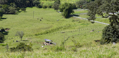 Bucolic scene with cattle in the field