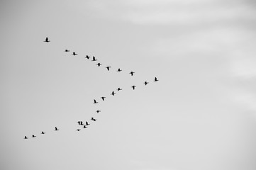 Migratory birds in black and white