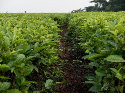 piantagione di tè in Malawi