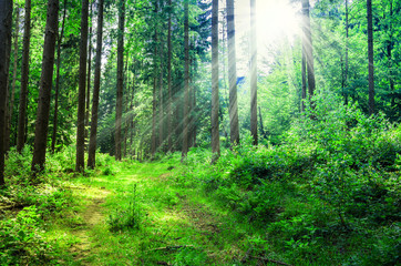 Green Forest with the sun that makes its way through the thick l