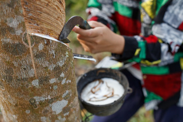 Hand cutting the rubber tree for tapping latex.