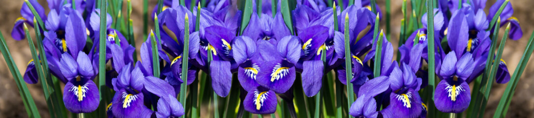 panorama cover morning flower iris
