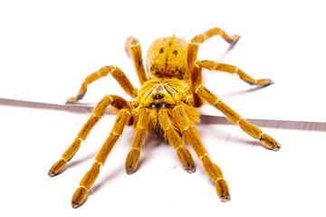 Danger Pterinochilus murinus tarantula venomous spider