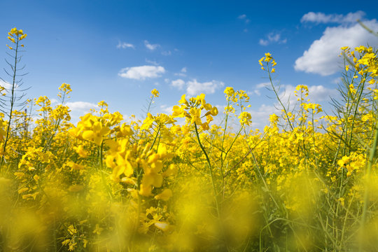 Field with yellow canola