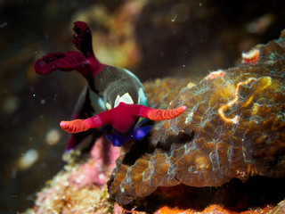 Underwater close up of colorful sea slug on rock