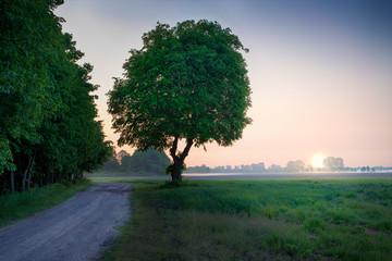 Linden tree in meadow. May sunrise. Masuria, Poland.
