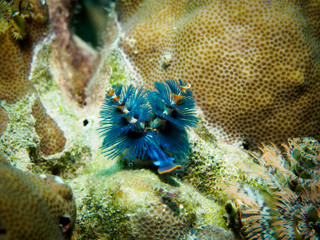 Close-up view of a Christmas Blue Tree Worm