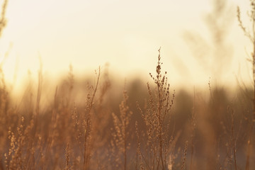 wild grass swaying in the wind in sunset, shallow focus