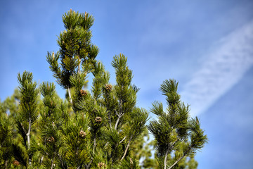 Pine tree and sky closeup