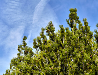 Pine tree clouds and sky closeup