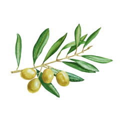 olive branch with green berries. isolated. watercolor