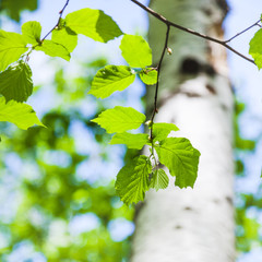 young green leaves of birch tree in spring