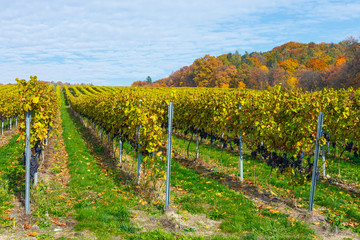 Wall Murals Vineyard red grapes in a vineyard