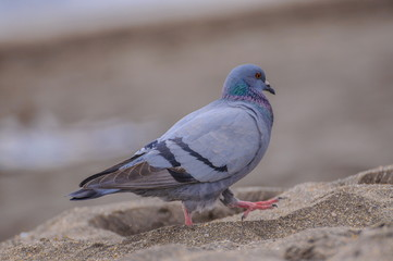 Gray dove walking on the beach