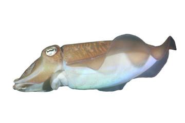 Cuttlefish (Sepia) isolated white background