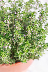 thyme in a pot