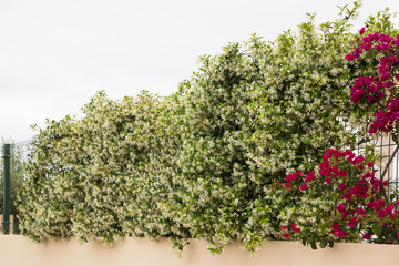 Flowering jasmine flower climber, creeper covers a fence.