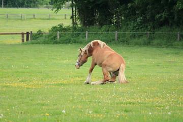 Pferd legt sich auf das Gras