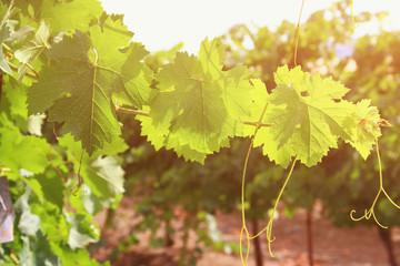Vineyard landscape. vintage filtered.